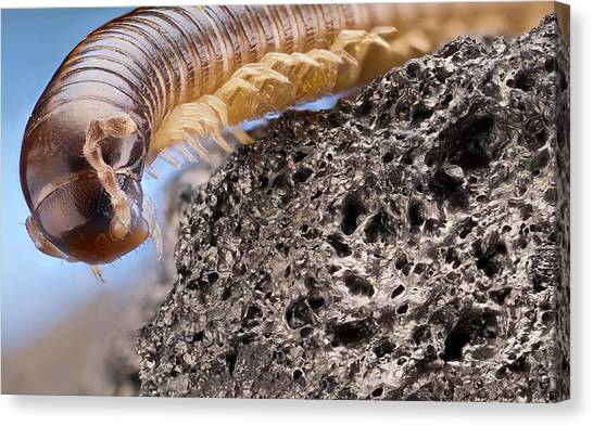 Millipedes Canvas Print - Millipede by Nicolas Reusens