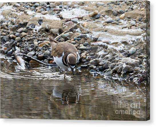 Killdeer Canvas Print - Mirror Mirror by Mike Dawson