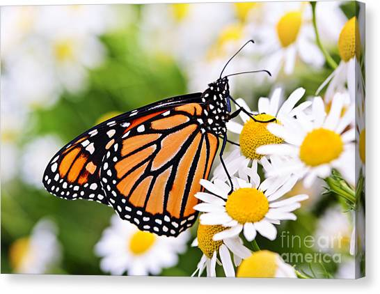 Lepidoptera Canvas Print - Monarch Butterfly by Elena Elisseeva
