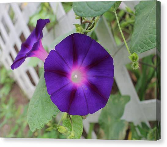 Morning Glory Canvas Print by Victoria Sheldon