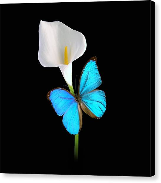 Morpho On Calla Canvas Print
