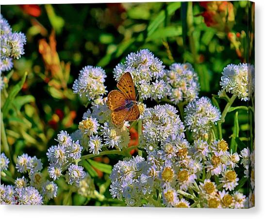 Moth On Pearly Everlasting Canvas Print