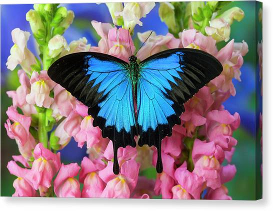 Snapdragons Canvas Print - Mountain Blue Swallowtail Of Australia by Darrell Gulin