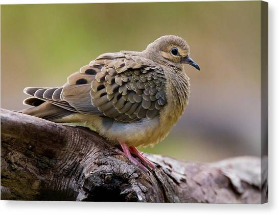 Mourning Dove Canvas Print - Mourning Dove (zenaida Macroura by Larry Ditto
