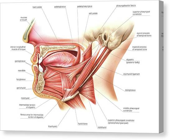 Anatomical Canvas Print - Muscles Of Tongue And Floor Of Mouth by Asklepios Medical Atlas