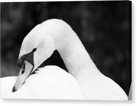 Mute Swan Black White Canvas Print