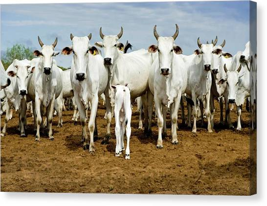 Nelore Cattle Canvas Print by Tony Camacho/science Photo Library