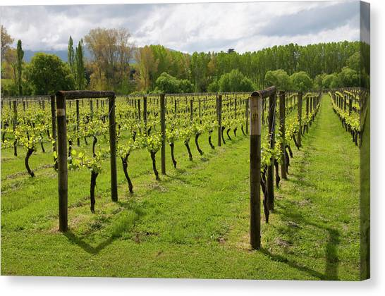 Tasting Canvas Print - New Zealand, South Island, Nelson, Wine by Lee Foster