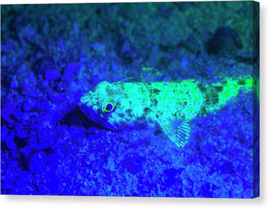 Belize Canvas Print - Night Dive At Barrier Reef, Saint by Stuart Westmorland