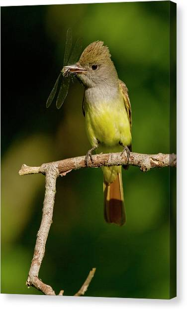 Flycatchers Canvas Print - North America, Usa, Central by Joe and Mary Ann Mcdonald