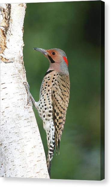 Northern Flicker Canvas Print - Northern Flicker (colaptes Auratus by Richard and Susan Day