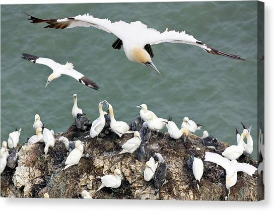 Northern Gannet Colony Canvas Print by Steve Allen/science Photo Library