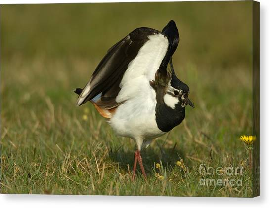 Lapwing Canvas Print - Northern Lapwing by Helmut Pieper