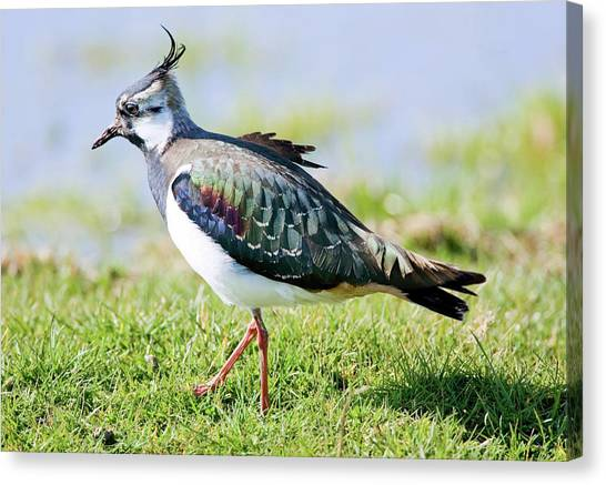 Lapwing Canvas Print - Northern Lapwing by John Devries/science Photo Library