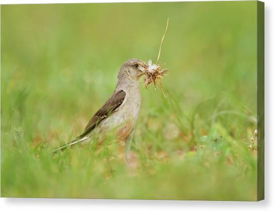 Mockingbirds Canvas Print - Northern Mockingbird (mimus Polyglottos by Larry Ditto