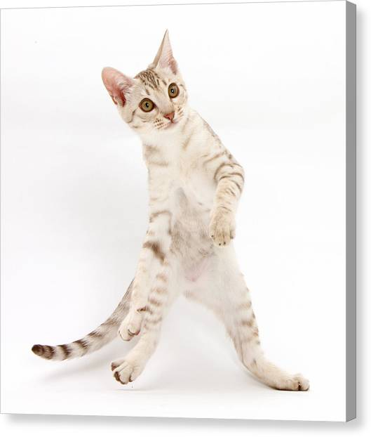 Ocicats Canvas Print - Ocicat Kitten Dancing by Mark Taylor