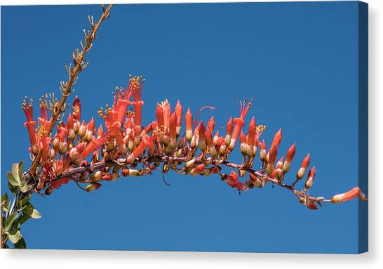 Sonoran Desert Canvas Print - Ocotillo (fouquieria Splendens) In Flower by Bob Gibbons/science Photo Library