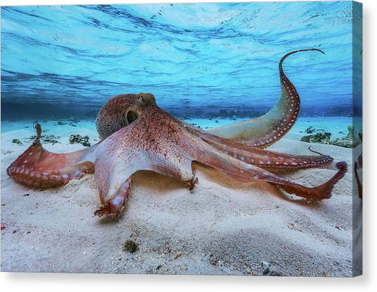 Octopus Canvas Print - Octopus by Barathieu Gabriel