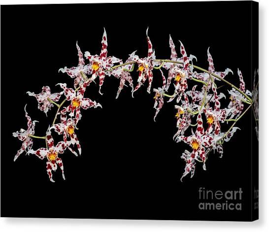 Odontoglossum X Andersonianum Canvas Print by Geoff Kidd