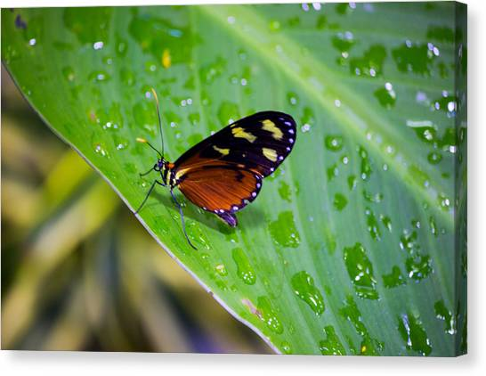 Orange And Black Butterfly Canvas Print