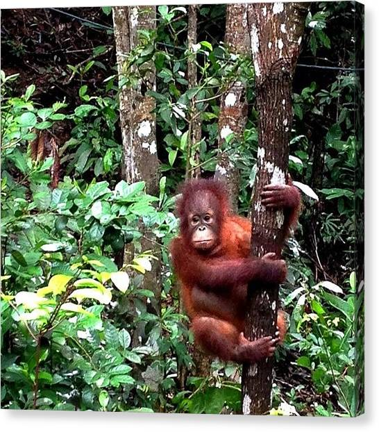 Orangutans Canvas Print - #orangutan #rainforest #forest #scene by Takeshi O