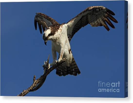 Osprey With A Fish Photo Canvas Print