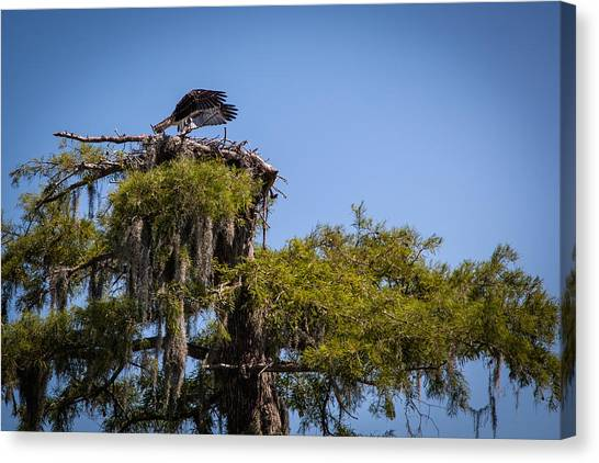 Osprey With Wings Forward Canvas Print