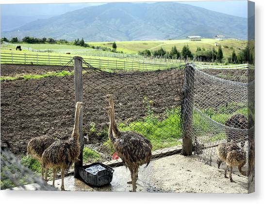 Ostriches Canvas Print - Ostrich Farm by Dr Morley Read/science Photo Library