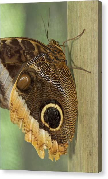 Belize Canvas Print - Owl-eye Butterfly (caligo by William Sutton