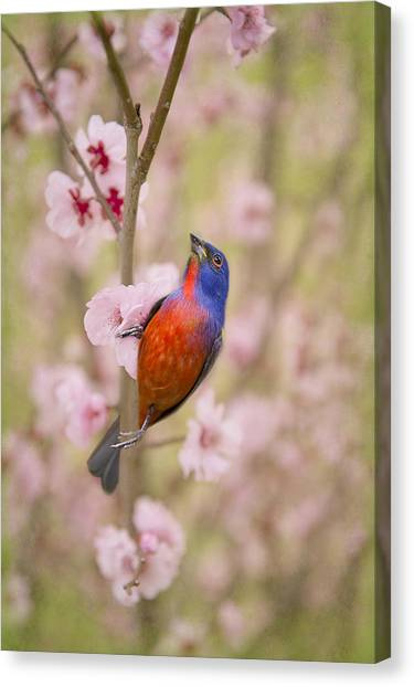 Painted Bunting In Spring Canvas Print