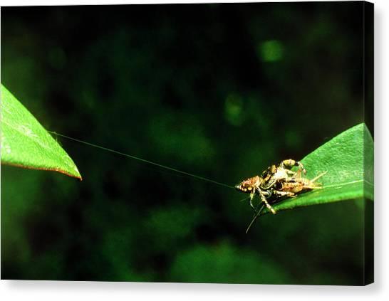 Panamanian Jumping Spider Eris Aurantia Canvas Print by Martin Dohrn/science Photo Library