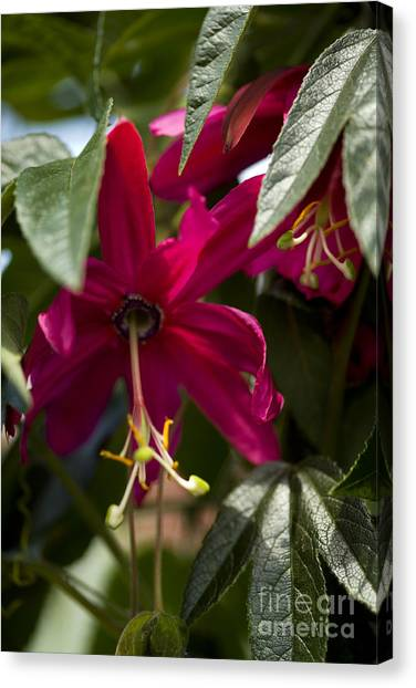 Passionfruit Canvas Print - Passion Flower Passiflora Antioquiensis by Dr. Keith Wheeler