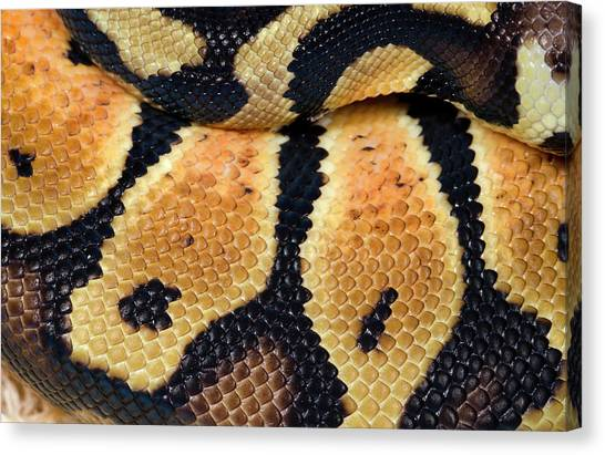 Pythons Canvas Print - Pastel Royal Python by Nigel Downer