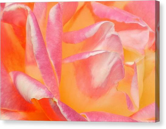 Peachy Pink Rose Canvas Print by Virginia Forbes