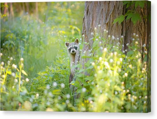 Raccoons Canvas Print - Peek A Boo by Carrie Ann Grippo-Pike
