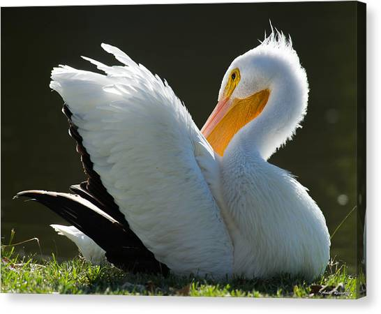 Pelican Preening Canvas Print