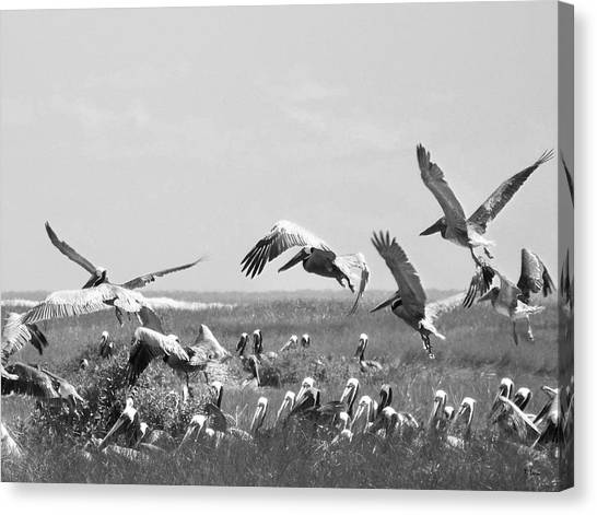 Pelicans Canvas Print by Thomas Leon
