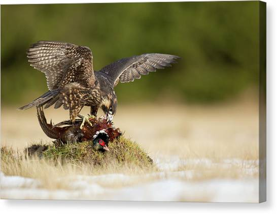 Pheasants Canvas Print - Peregrine Falcon by Milan Zygmunt