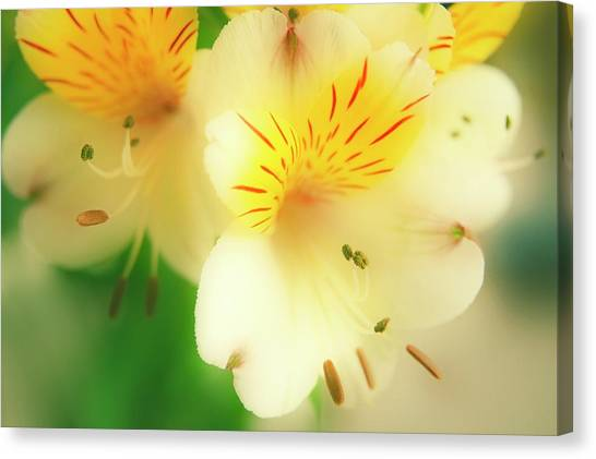 Peruvian Lily (alstroemeria Haemantha) Canvas Print by Maria Mosolova/science Photo Library