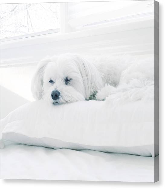 White Maltese Canvas Print - Petit Prince by Natasha Marco
