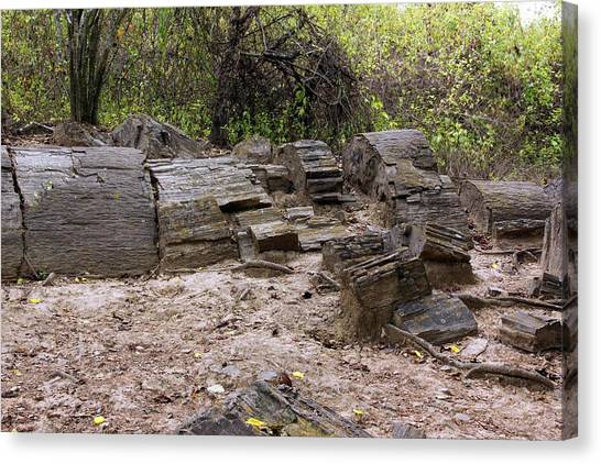 Petrified Forest Canvas Print - Petrified Tree Trunks by Dr Morley Read/science Photo Library