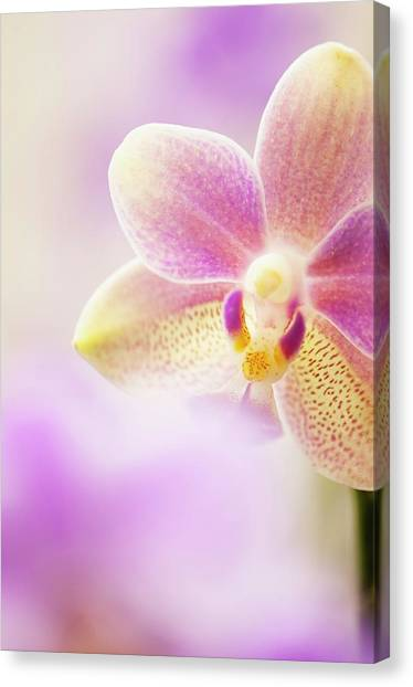 Phalaenopsis Tzu Chiang Balm 'ot0076' Orchid Canvas Print by Maria Mosolova/science Photo Library