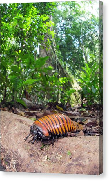 Millipedes Canvas Print - Pill Millipede by Scubazoo/science Photo Library