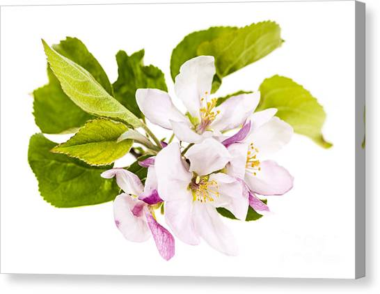 Fruit Trees Canvas Print - Pink Apple Blossoms by Elena Elisseeva