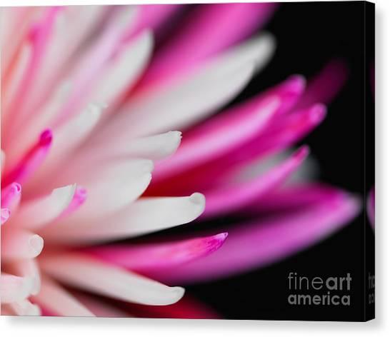 Pink Chrysanthemum Flower Isolated On Black Background. Macro  Canvas Print