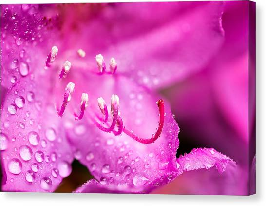 Canvas Print featuring the photograph Pink Dreams by Mary Jo Allen