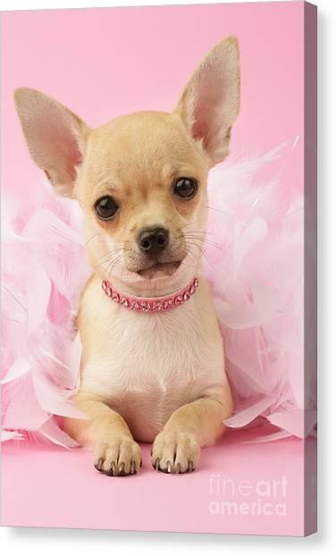 Chihuahuas Canvas Print - Pink Times by Greg Cuddiford
