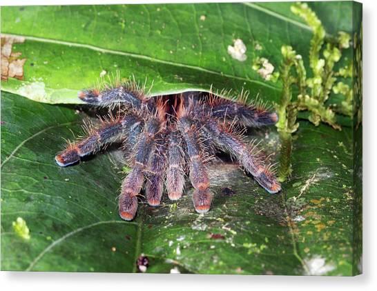 Ecuadorian Canvas Print - Pink Toed Tarantula by Dr Morley Read