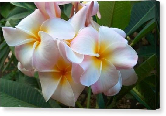 Plumeria Cluster Canvas Print by Blondie Wagner