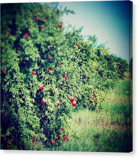 Orchard Canvas Print - #pomagrante #pomagranteorchard #field by Katie Markie